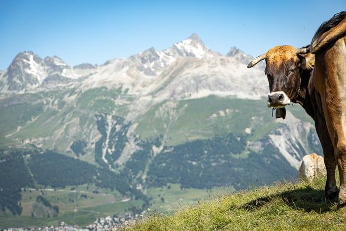 Kuh auf der Alp Languard mit Piz Güglia im Hintergrund