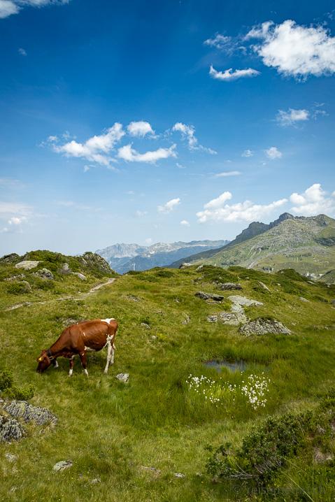 Kuh auf der Mettmen Alp