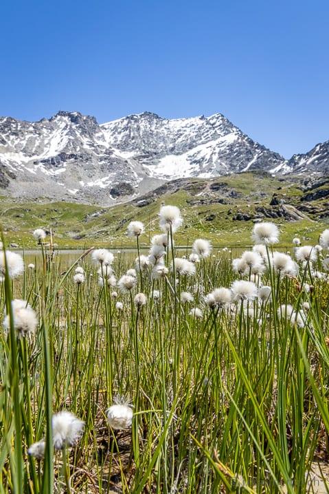 Wollgras am Bergsee Lejin S-chaglia