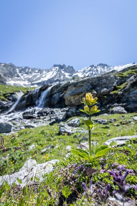 Tüpfel-Enzian am Wasserfall des Corvatsch