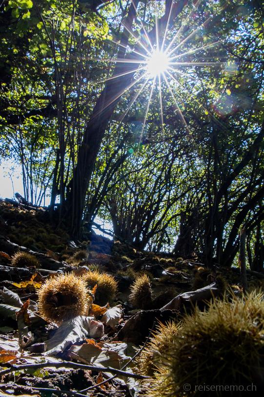 Kastanien im schattigen Wald