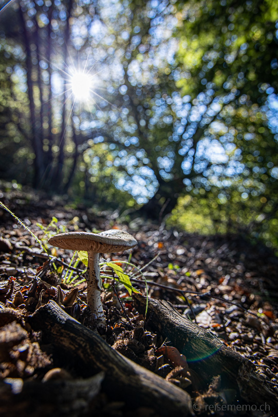 Pilz in der Morgensonne