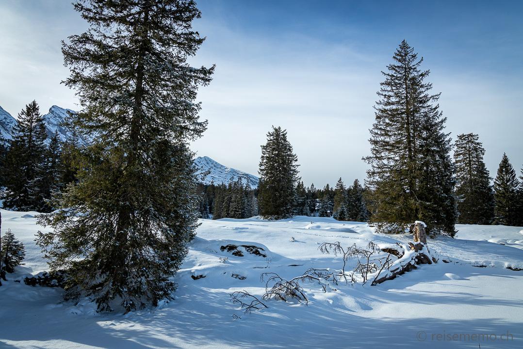 Winterliche Fichten auf der Alp Sellamatt