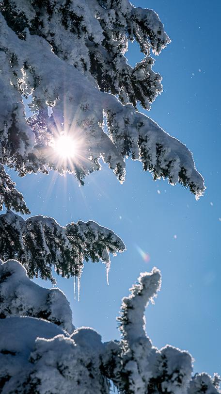 Verschneite Fichte mit Eiszapfen im Gegenlicht