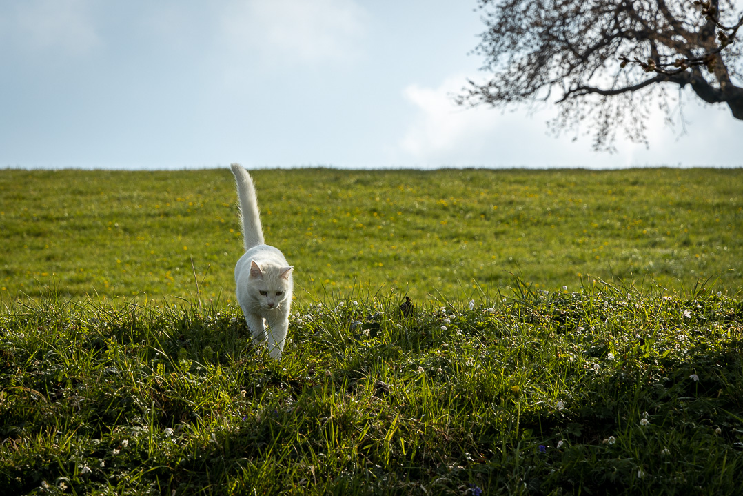 Katze in Hirzel Höchi