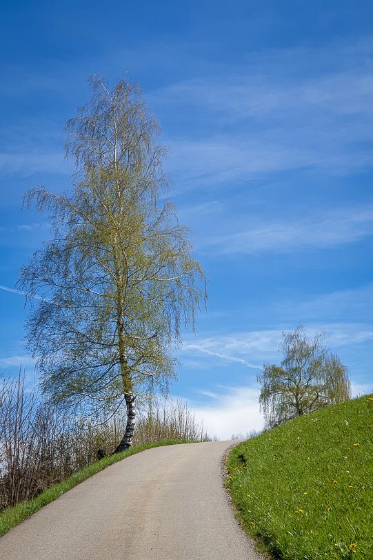 Birke an der Landstrasse