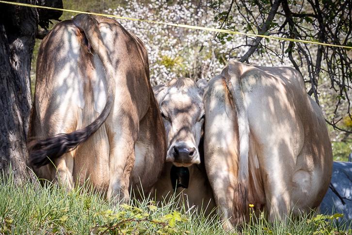 Zwischen zwei Kühen eingeklemmte Kuh bei Malans