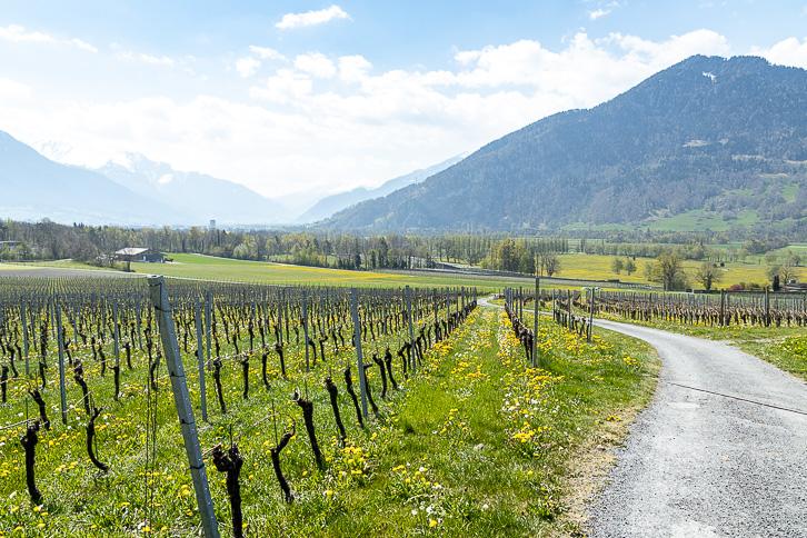 Weinwanderung in der Bündner Herrschaft