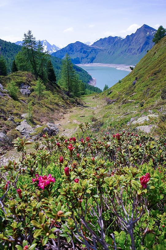 Blühende Alpenrosen am Wanderweg zum Ritomsee