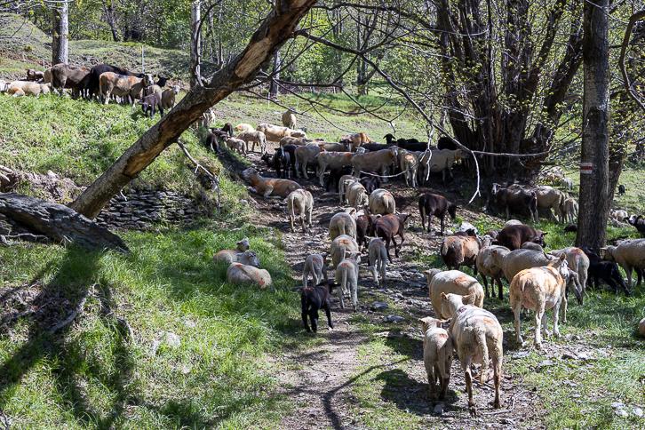 Schafherde auf dem Wanderweg zum Monte Bar