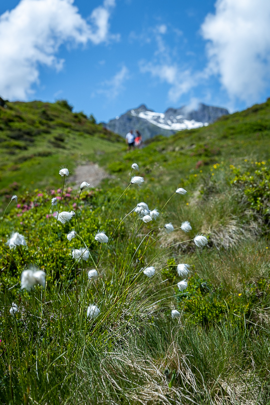 Wollblumen Pizol