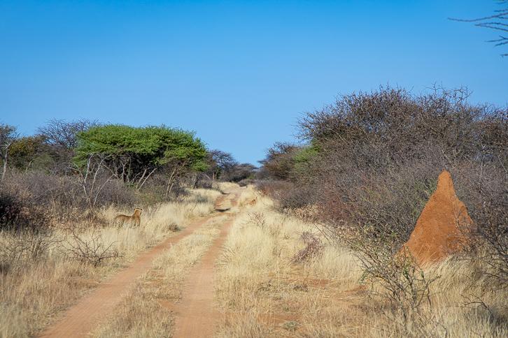Gepard an der Strasse im Okonjima Naturreservat