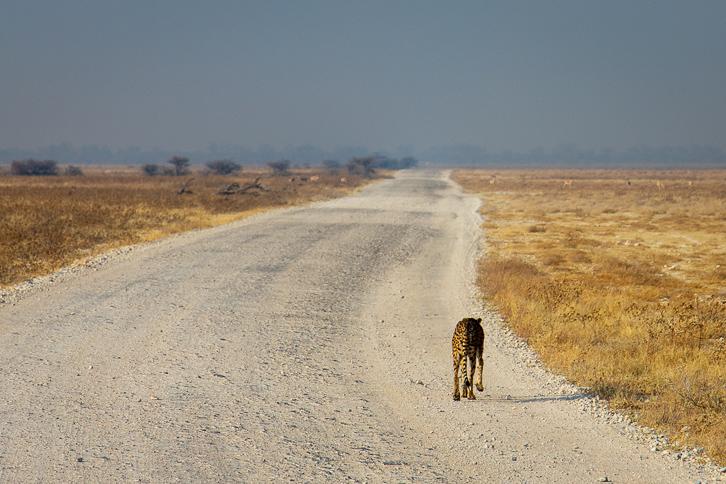 Gepard auf der Pirsch im Etosha-Nationalpark