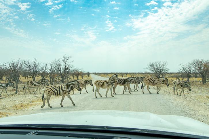 Zebraherde auf der Hauptstrasse des Etosha-Nationalparks