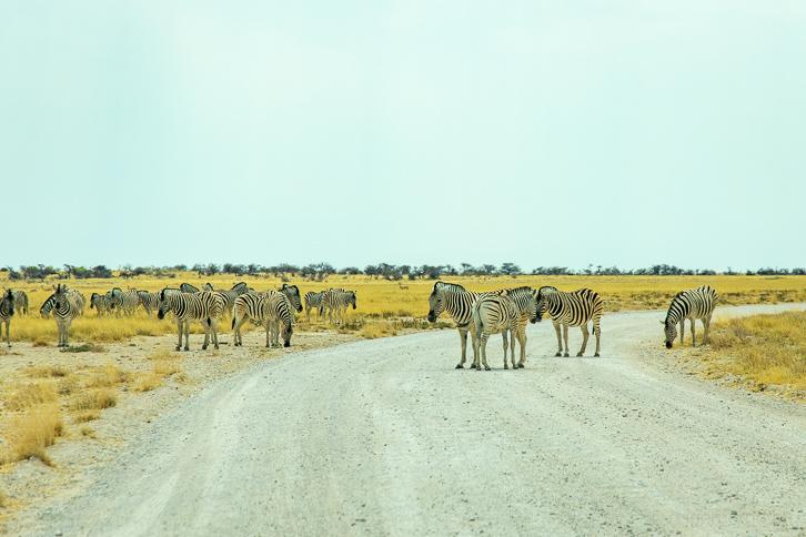 Blockierte Strasse wegen Zebras auf der Hauptstrasse im Etosha Nationalpark